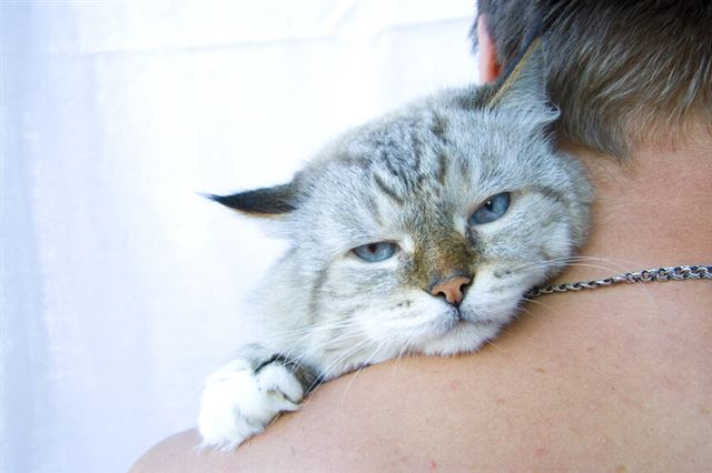 Angry cat on shoulder his owner
