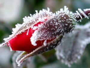 Как уберечь растения от заморозков