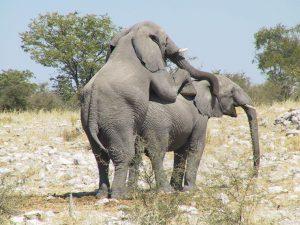 Способ размножения млекопитающих