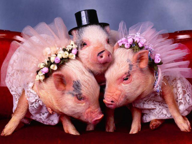 Свиньи и женщины