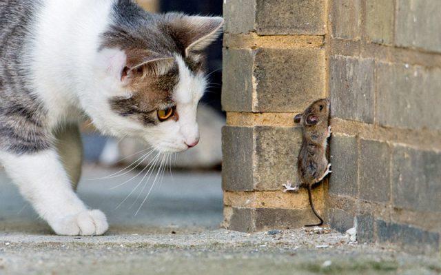 Как избавиться от крыс кошкой